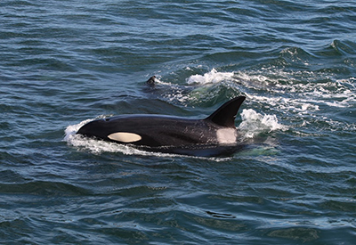 Orcas in Boundary Pass